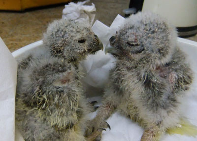 Two of the Little Owl triplets blown out of a tree chat about their lucky escape!