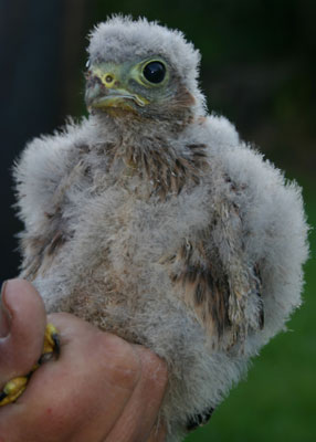 A promising number of young Kestrels were ringed during the 2017 campaign