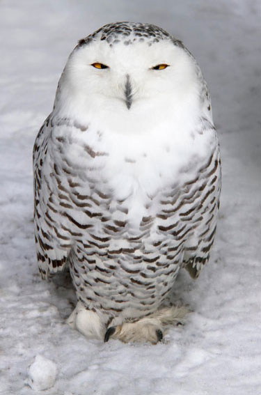 Our friend Mishka the Snowy Owl also felt totally at home in the white stuff - her cousins in the wild are able to withstand temperatures as low as -40º C, though it didn't drop quite as low in normally Sunny Suffolk!