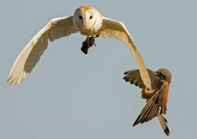 barn-owl--kestrel-o02.jpg