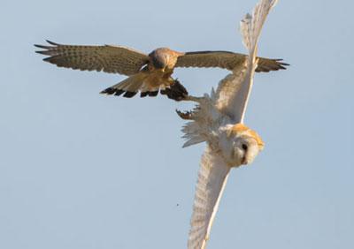 barn-owl--kestrel-o04.jpg