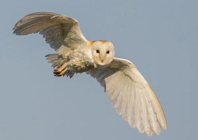 barn-owl--kestrel-o06.jpg