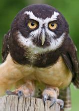 spectacled-owl-2.jpg