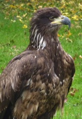bald-eagle-0028immature0029-2.jpg