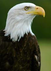 bald-eagle-mature-2.jpg