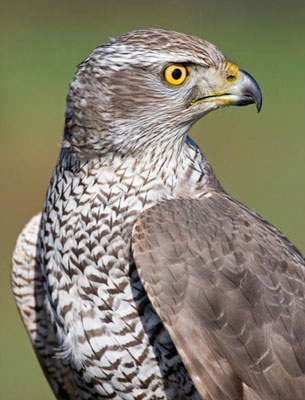 The Goshawk is a handsome bird with piecing eyes and formidable powers of flight