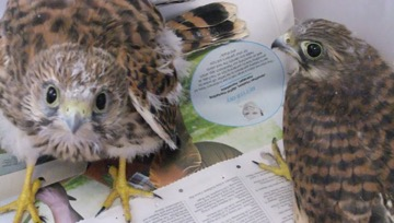 All quiet on Kestrel Ward at the Raptor Hospital
