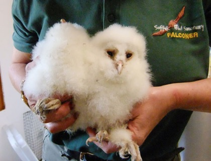 Storm damage Barn Owl orphans settle into the hospital.