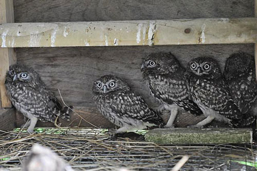 Now We Are Five - our four 'outfoxed' Little Owls plus an additional one prepare for the off!