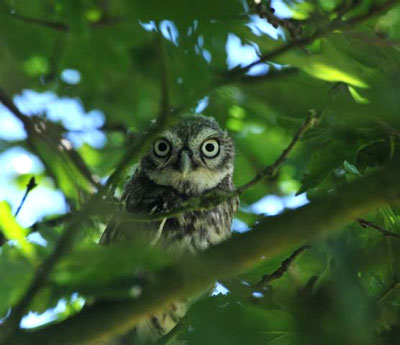Happy Ending - one of the young Little Owls peers back from within the neighbouring orchard