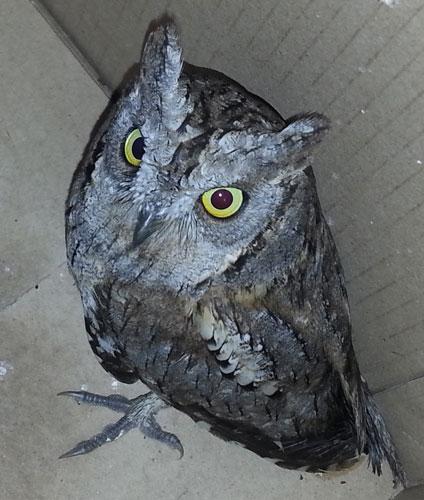 transylvania-owl-1.jpg