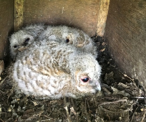 A trio of Tawny owlets nestle amidst the detritus that accumulates inside a busy nest box, which the team will clean when the opportunity arises later in the in the year.