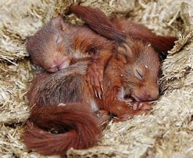 Typically, Red Squirrel 'kits' nestle together whilst in the dray*