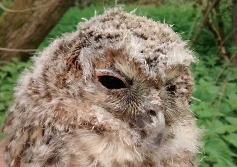 The breeding activity of Tawny Owls was devastated in 2013,   with some surveys showing zero-based results. This year,   there are signs of substantial reversals of fortune...