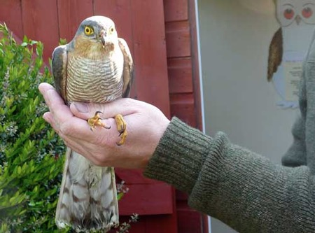 This male sparrow hawk - known as a Musket - was brought into our raptor   hospital with minor concussion but was eventually released in good health.   I am holding it gently but firmly so has to keep those extremely sharp   talons well out of harms way!