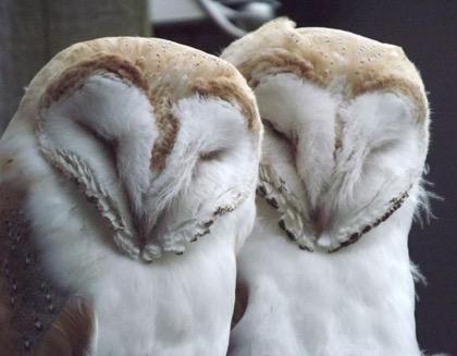 barn-owl-pair-2-lr.jpg