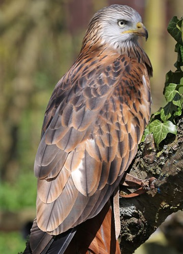 Nessa the Red Kite
