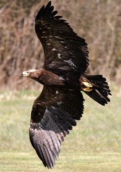 Rheia the Steppe Eagle