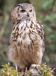 Baloo the Indian Eagle Owl