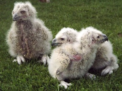 Three European Eagle Owl chicks get their first airing -   it won't be long before they're real beauties