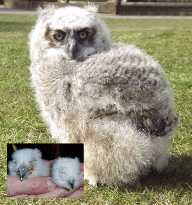 What a difference a month makes - in just 4 weeks this   Great Horned Owl chick has developed beyond all recognition