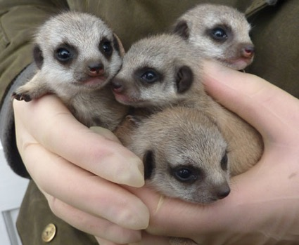 Introducing Eeny, Meeny, Miny and Moe - a real handful at 3 weeks old