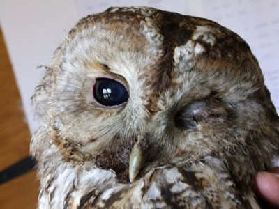 Things that go bump in the road - luckily we think   we can nurse this battered Tawny Owl back to full health