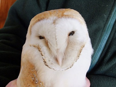 Four days at home and keeping hubby awake at night was a price worth paying to get this emaciated Barn owl on the right road to recovery