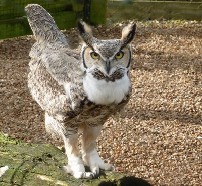 One proud father - our Great Horned Owl Huron in defensive   pose in order to warn intruders against paying too close   attention to the new arrivals.
