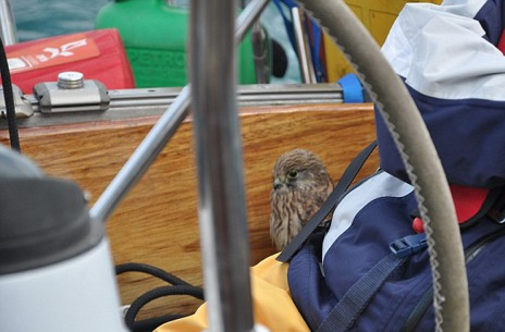 When first she landed the tired Kestrel settled in somewhat warily...