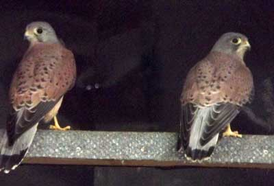Both Kestrels have now been safely released on a local estate