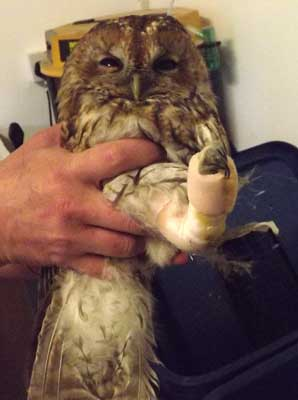 Sporting a cast for his broken leg, we're hopeful this Tawny will make a full recovery