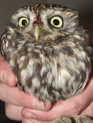 Bloodied but unbowed - and sodden to boot. Despite his trying times, after some R&R time to heal, this Little Owl will shortly be back in the wild.