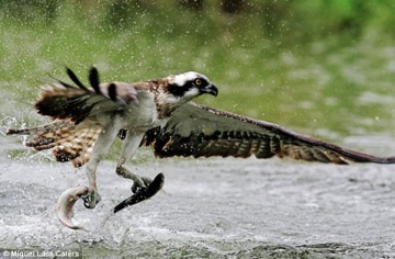 sm-osprey-3.jpg