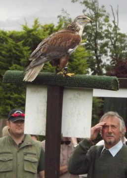A Ferruginous Buzzard comes in for close scrutiny