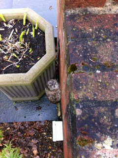 The bewildered Tawny owlet was foundnestling behind a flowerpot