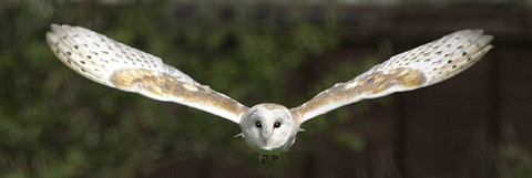 A not-uncommon occurrence at dusk in the countryside, a Barn Owl approaching you head-on unfortunately cannot always be avoided…
