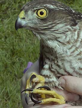 Talons to deceive - a rare chance to appreciate the long, sharp talons which are the tools in trade of the Sparrowhawk