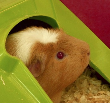 Hoping not to become part of anyone's food chain, Sandy the Guinea Pig will help us explain the role of small mammals to young visitors learning more about the process of life in the wild