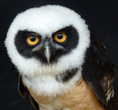 Oh, Lucky Man! One of the residents of the new Owl Block   will be Cecil, our Spectacled Owl, who contrives   to look more handsome by the day!