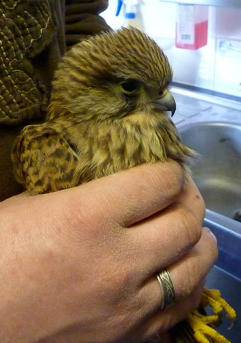 This undernourished Kestrel was collected from a local farm a few days into last December's cold snap, when it had been unable to find food because of the deep snow cover.