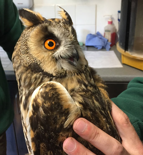 The Long Eared Owl is assessed on arrival and appears alert and active!