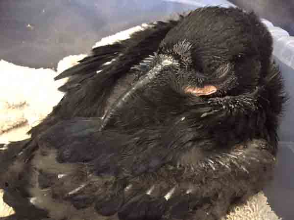 Baby raven Charles enjoys a nap after a feed, too...