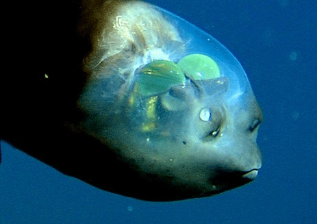 The software is named after the Barreleye fish, which is known for it's transparent head.