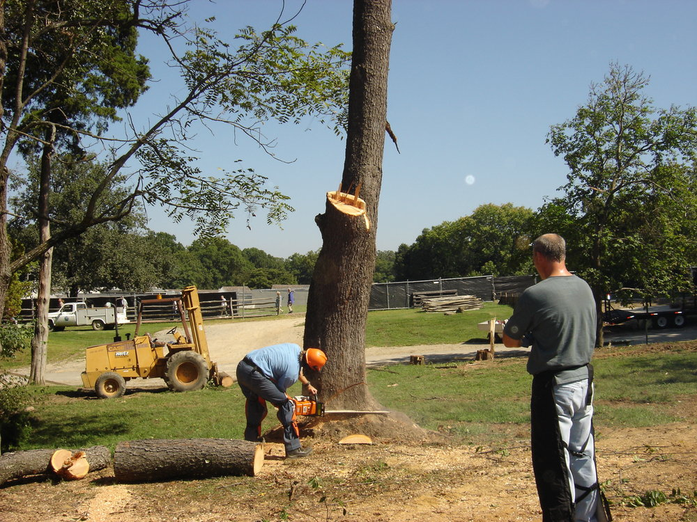 Removal of Cherry at Mount Vernon - HWA