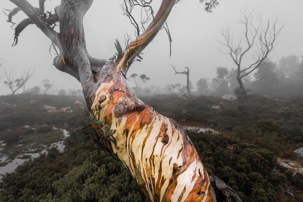 Tasmanian Photography -  Tree Of Faces - WILKOGRAPHY.jpg