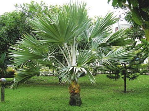 Bismarck Palm Tree