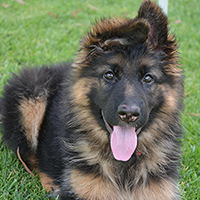 German shepherd long coat