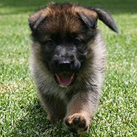 German shepherd puppy sable