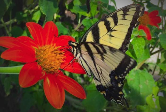 Yellow Swallowtail on a Mexican Sunflower bloom - this particular plant is a favorite in Southern Missouri gardens for butterflies and bees.  Photo: Colleen Hargis